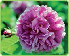 Konfitiura z płatków róż z Doliny Róż