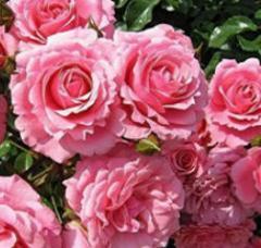 Konfitiur z płatków róż