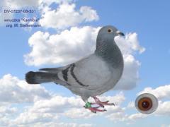 Gołębie do rozpłodu
