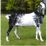 Koza anglonubijska-arystokratka koziego rodu