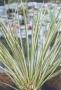 Rośliny akwariowe Acorus gramineus- Tatarak