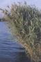 American Reed