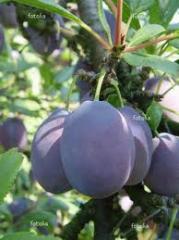 """Świeże owoce śliwki """"Węgierka"""