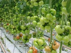 Pomidor odmiany GEROMINO