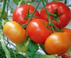 Pomidor odmiany BOGOTA