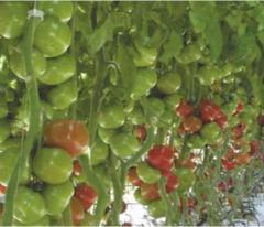 Pomidor odmiany GROUDENA