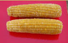 Production of corn on the cob fresh and frozen.