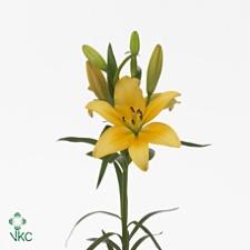 Lilia żółta
