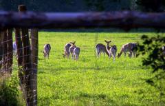 Hodowla danieli z rodziny jeleniowatych