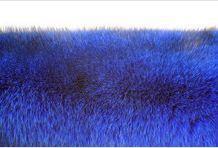 Skóry z lisów niebieskich
