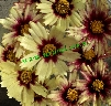 Coreopsis 'Star Cluster