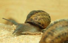 Ślimak mały szary (Müller)
