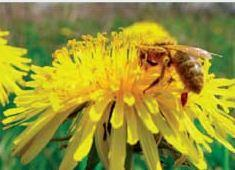 Pszczoły - RASA KRAIŃSKA (CARNICA)