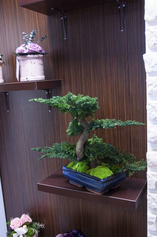 drzewko_bonsai_ordo