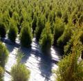 Zimozielone drzewa
