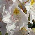 Rododendron wielkokwiatowy Album Novum