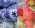 Mrożone owoce z rodzimej produkcji. Wybór owoców i mieszanek owocowych.