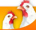 Kurczaki świeże i mrożone. Kurczaki w całości i porcjowane.