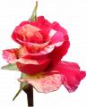 Róże szklarniowe. Różne odmiany i kolory