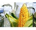 Nasiona kukurudzy