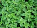 Pokrzywa zwyczajna (Urtica dioica L.)