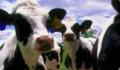 Pasze dla bydła.