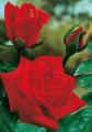 Róża krzakowa