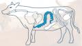 Jelita wołowe