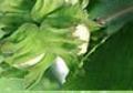 Sadzonki leszczyny