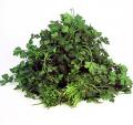 Świerze zioła