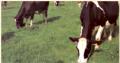 Krowy, jałówki hodowlane, rzeźne