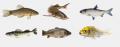 Ryby ozdobne