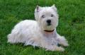 West Highland White Terrier - szczenięta z miotu suczki Sieny