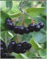Krzewy owocowe aronia czarnoowocowa
