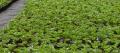 Sadzonki truskawek odmiany Kent