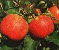 Czeska odmiana zimowa jabłoni SZAMPION