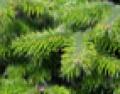 Gałęzie jodły kaukaskiej I klasy