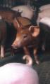 Świnie ras mięsnych.