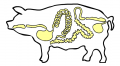 Jelita wieprzowe