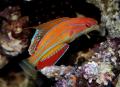 Ryby akwariowe Paracheilinus Carpenteri