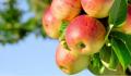 Jabłka letnie