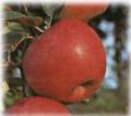 Jabłoń odmiana średnio-późna