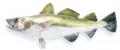 Dorsze jako materiał do przetworzenia, ryby do przetwórstwa !