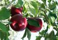 Jabłka odmiany jonagored