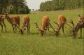 Hodowla jeleni