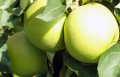 Jabłka Golden Delicious
