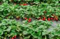 Sadzonki truskawki Dukat, odporne na choroby systemu korzeniowego