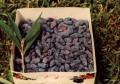 Sadzonki jagody kamczackiej
