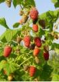 Maliny owocujące na dwuletnich pędach: Benefis, Beskid, Laszka, Litacz, sokolica, Radziejowa