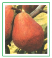 Sadzonki gruszy Red Bonkreta Williamsa (Pyrus communis